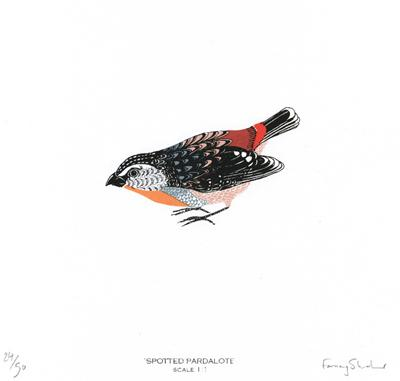 Spotted Pardalote by Fanny Shorter