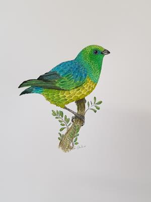 Blue-naped Chlorophonia by Fanny Shorter